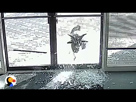 Goat Smashes Windows For No Reason | The Dodo