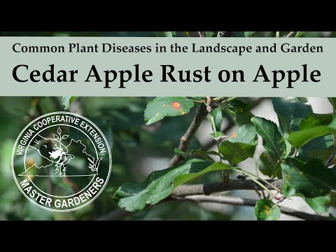 Cedar Apple Rust On Apple - Common Plant Diseases In The Landscape And Garden