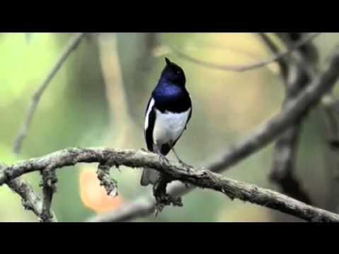 Burung Kacer Poci Hutan + Suara Sungai (JOS Buat Masteran Burung Macet Bunyi)