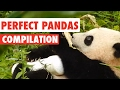 Perfect Pandas Video Compilation 2017