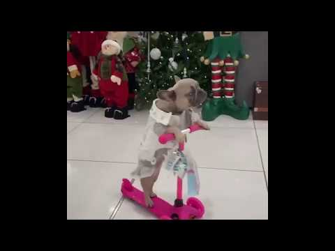 French Bulldog on a Tricycle - Little frenchie Princess that will melt your heart
