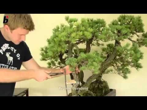 Chia sẻ Kỹ thuật Tạo dáng và Đường cong cho Bonsai cây cảnh rất đơn giản