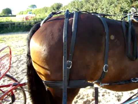 hqdefault carriage driving horse harness kicking strap youtube
