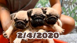 Chó mặt xệ , chó Pug con tìm chủ yêu thương | Trại Chó Bình Cao | Liên hệ 0939.2222.11