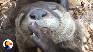 Rescued Baby Otter Sucks Thumb Like a Human Baby | The Dodo