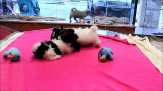 Havanese And Maltese Puppies Playing In Boca Raton