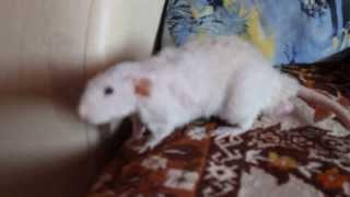 Крыса дамбо-рекс по имени Бантик!