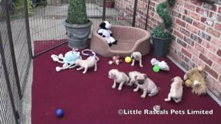 Little Rascals 7/8 Pug Puppies