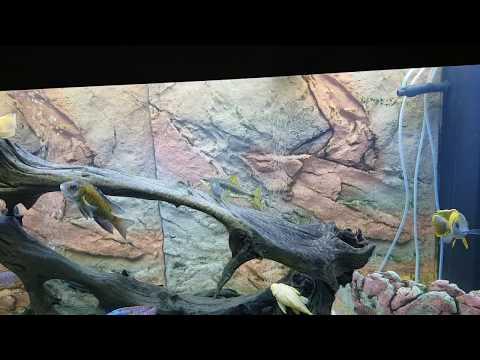 Siamese Algae Eater Spawning Behavior