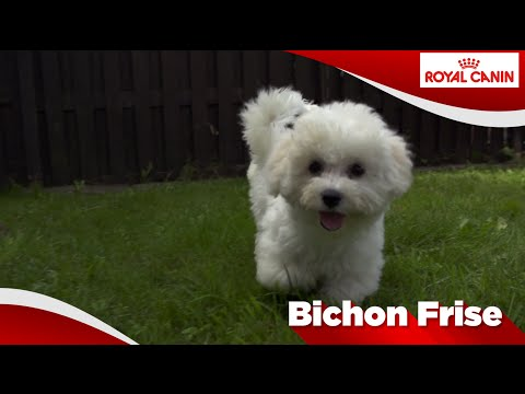 Bichon Frise talent video | FunnyDog.TV