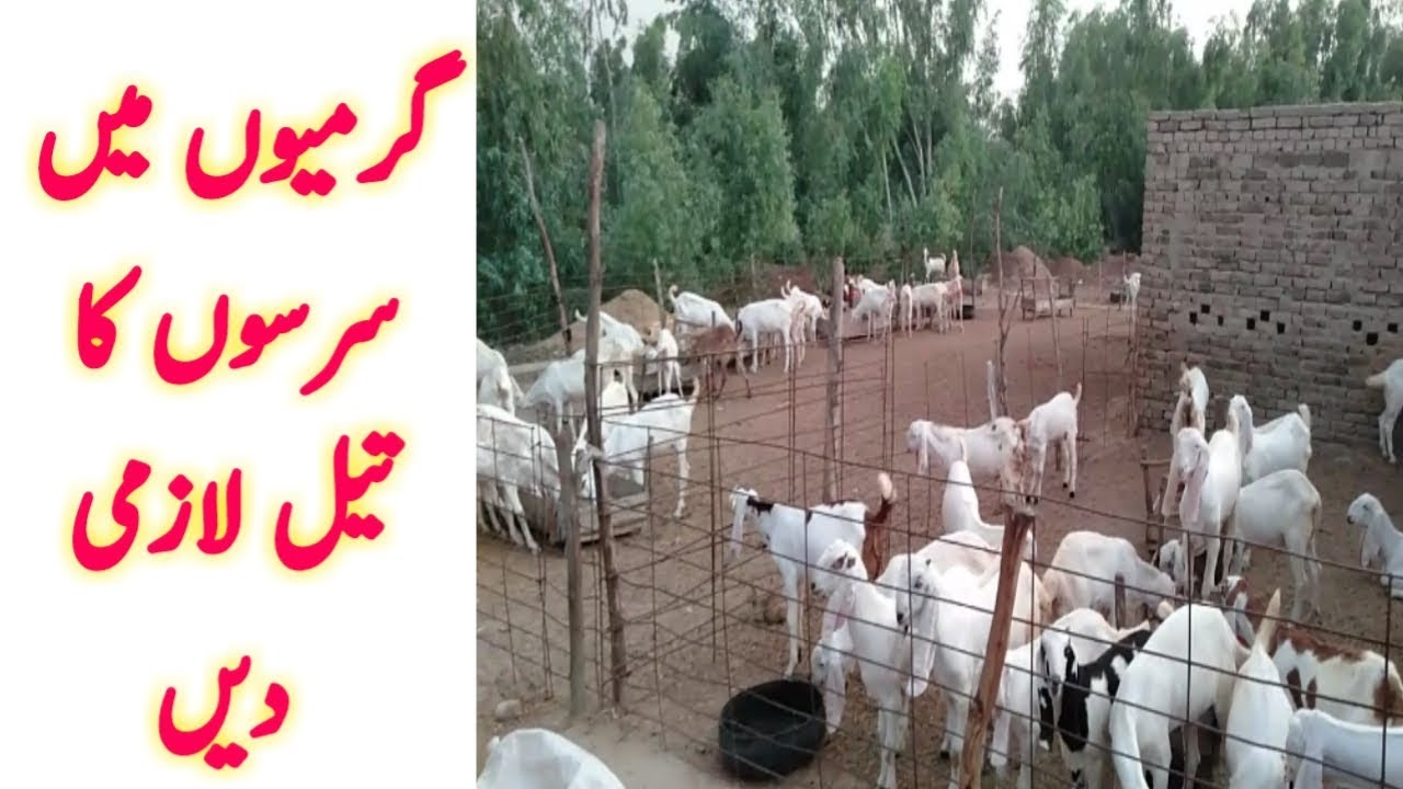 how to start goat farming in pakistan