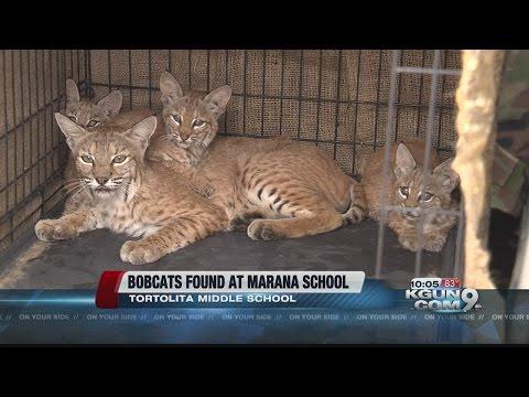 Family of bobcats found at Marana middle school