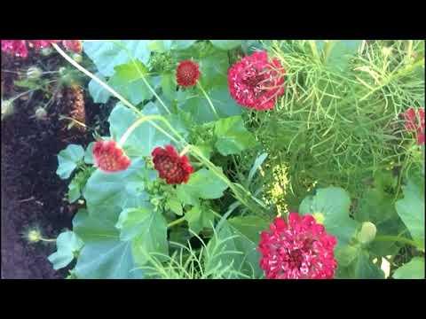 Необычное растение. Египетская роза - скабиоза пурпурная..