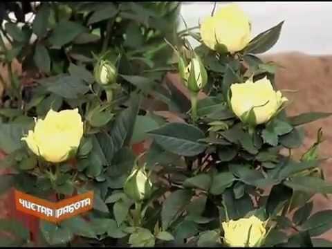 разновидности комнатных роз и их уход