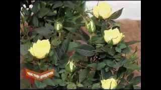 Комнатные розы. Как ухаживать?(Сергей Липатов - ботаник, фитодизайнер. Проект
