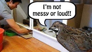 Are Quails Loud and Messy Pets?