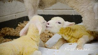 Baby Steps: Twin Lambs Celebrate Life's Firsts at Farm Sanctuary