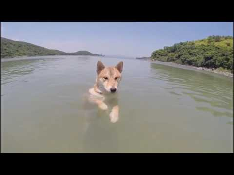 Shiba standing and walking in the sea