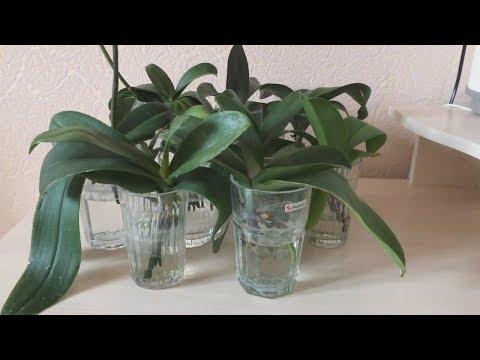 Реанимация орхидей в воде без просушки. ЧАСТЬ 1 Наращивание корней и новых листьев. Ошибки и успехи.