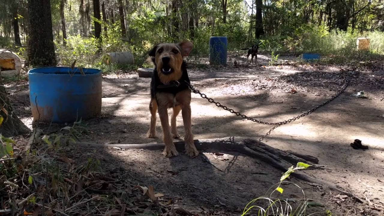 Jagdterrier Airedale Cross - YouTube