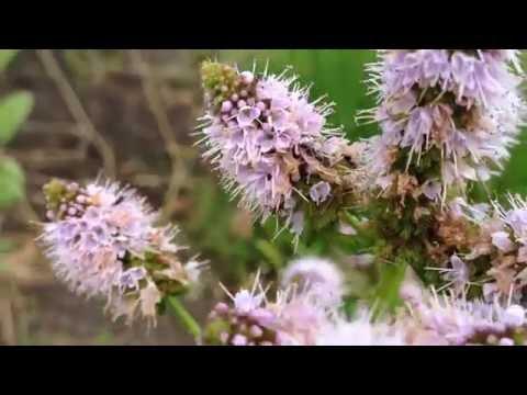 Spearmint (Mentha spicata) - 2016-07-29