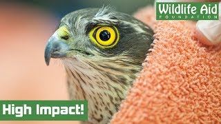 Bird of prey makes MIRACULOUS RECOVERY after flying into a window!