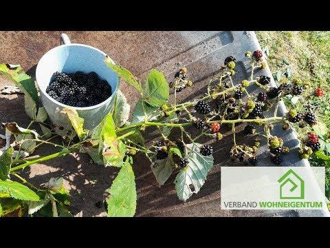 brombeere-richtig-schneiden-und-im-garten-anbauen