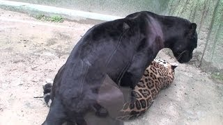 Wild Jaguar and Black Leopard Mating Firs Time [Metamorphosis Documentary]