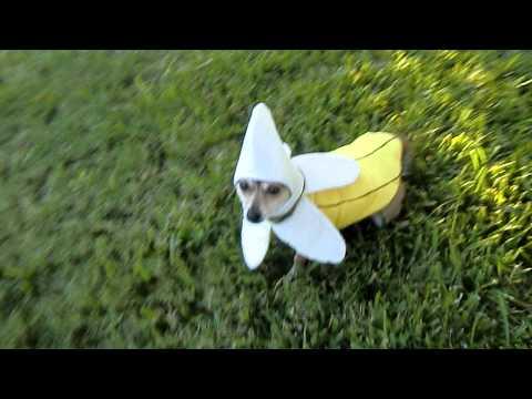 Banana Dog ( high ✋ video )