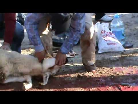 Kurbanımız kesilirken  Koyun kesimi  KKB