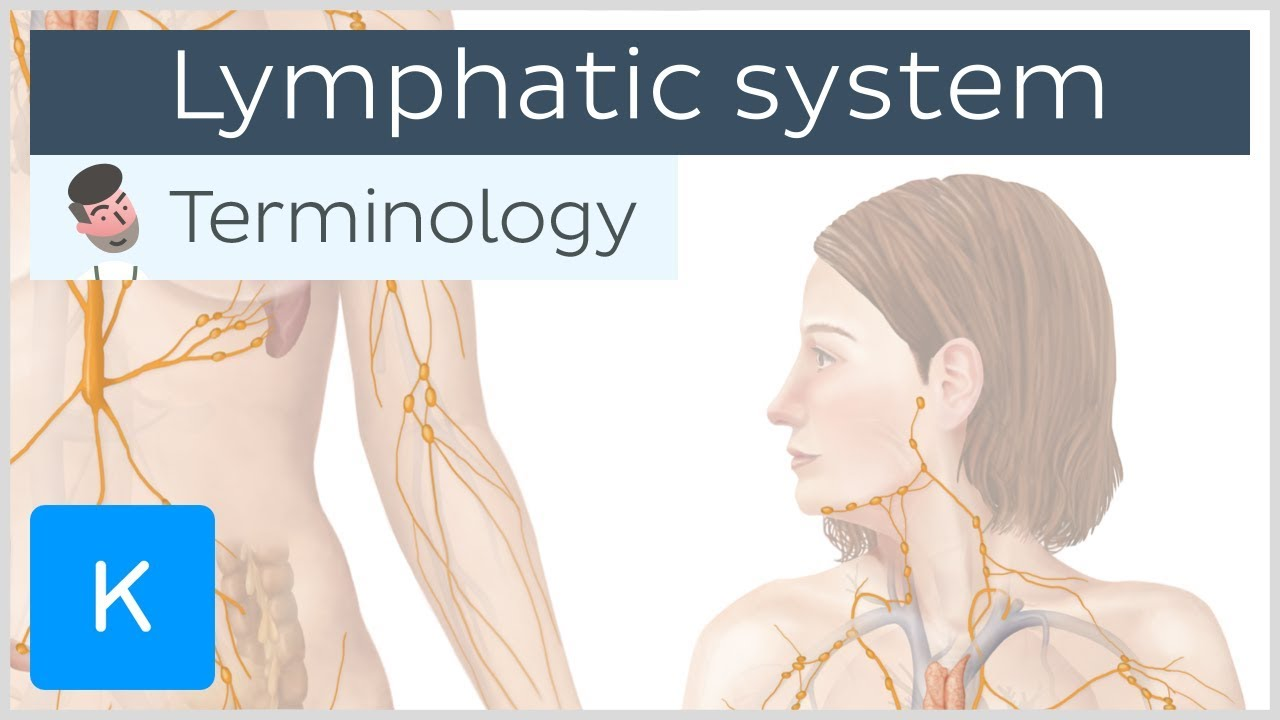 Lymphatic system – Anatomical terminology for healthcare professionals | Kenhub