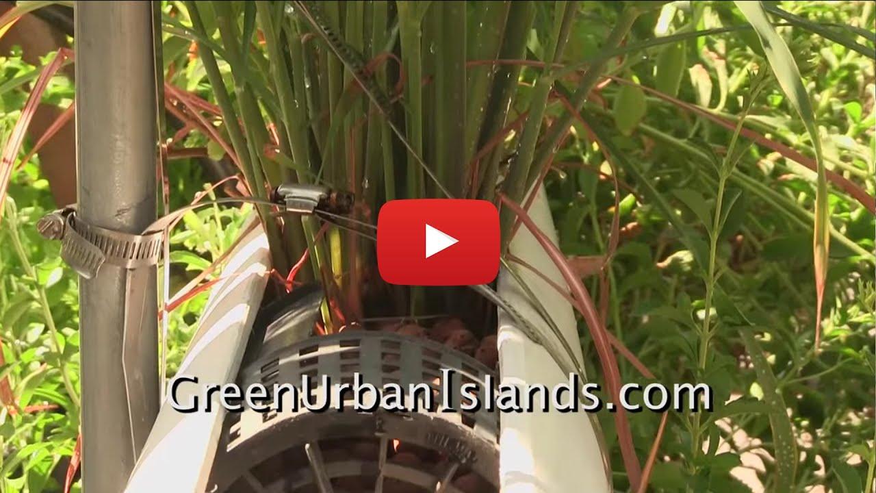 How to grow lemon grass - Growing Lemon Grass In A Pvc Hydroponic Garden