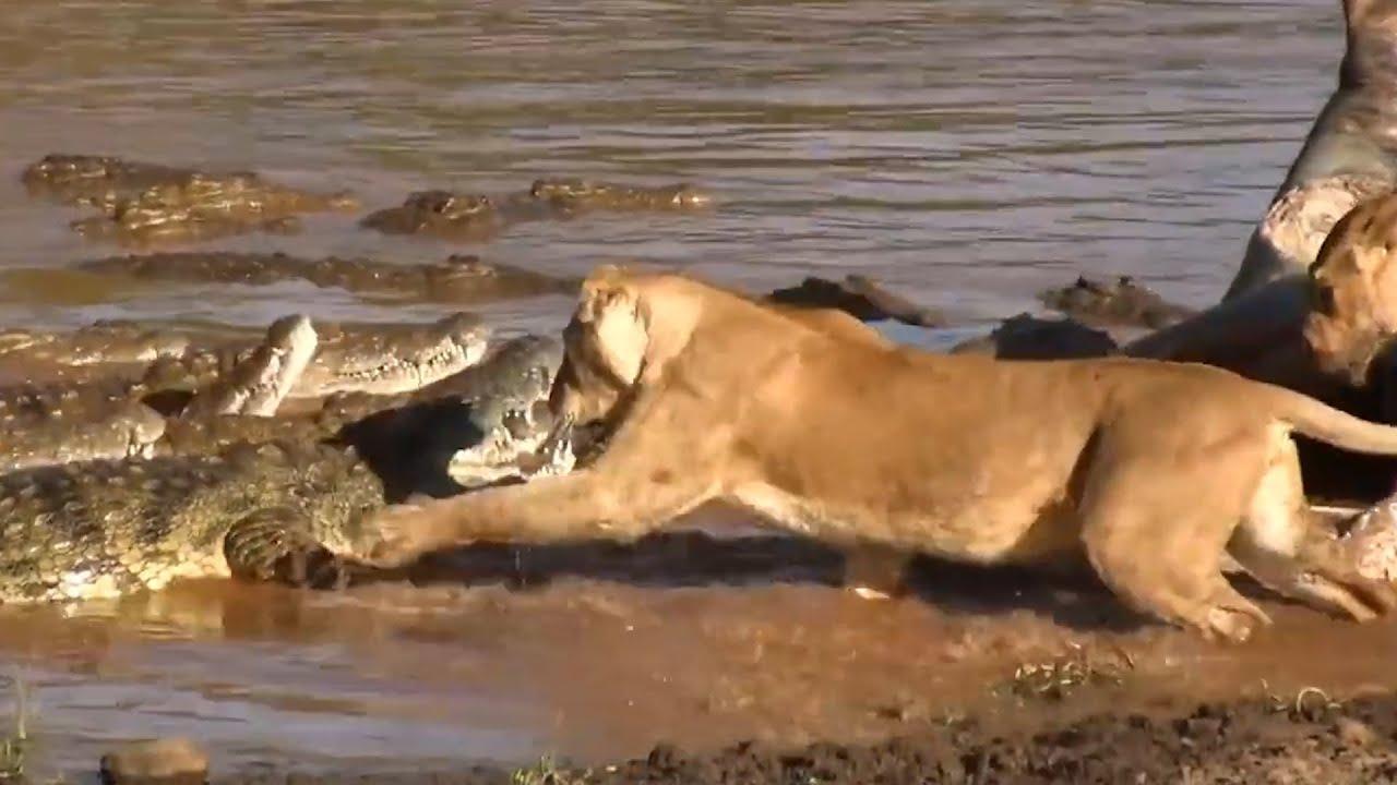 """Хищники в Деле. Львы и Крокодилы отбирают добычу! Самые эпичные битвы диких животных """"за 5 минут"""""""