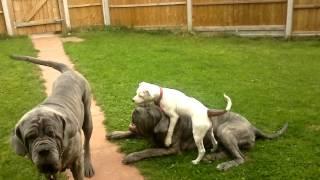 Neapolitan Mastiff Pack Plus Staffordshire Bull Terrier