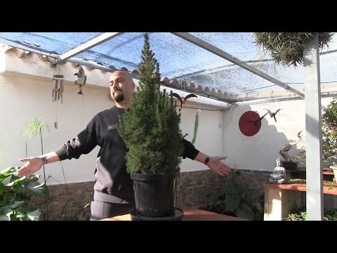 Bonsai desde planta de vivero - Parte 1 - Me lo pone muy difícil
