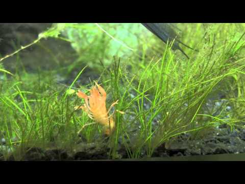 Orange Dwarf Mexican Crayfish