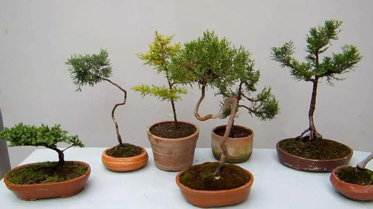 Con feras para el bonsai youtube for Bonsai de jardin