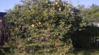 Drzewko pigwowe