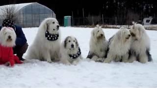 雪が残る足柄ドッグランcocoにオールドイングリッシュシープドッグ...