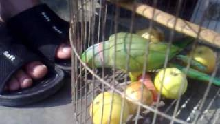 Talking Parrot in Pakistan