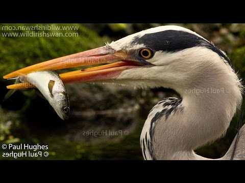 Grey heron catches and eats a freshwater fish
