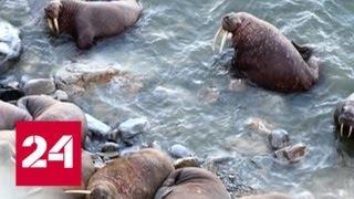 Из-за таяния льдов тихоокеанские моржи сели на диету - Россия 24