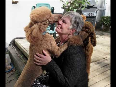 Red standard poodle loves the woman that bred her
