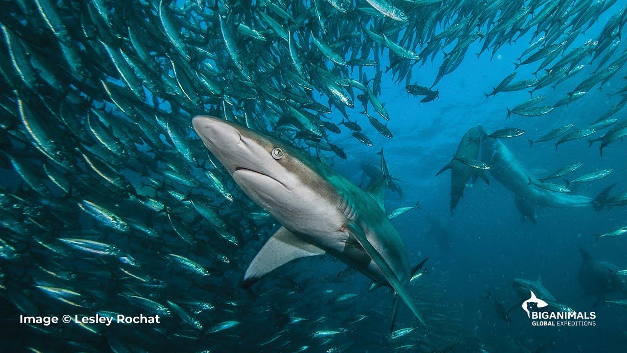 Chase South Africa's Spectacular Sardine Run