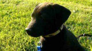 Trained Female Lab Mix Rescue Puppy For Adoption -adopted