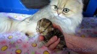 12 06 04 Persian kittens 7 days old, the K Litter.