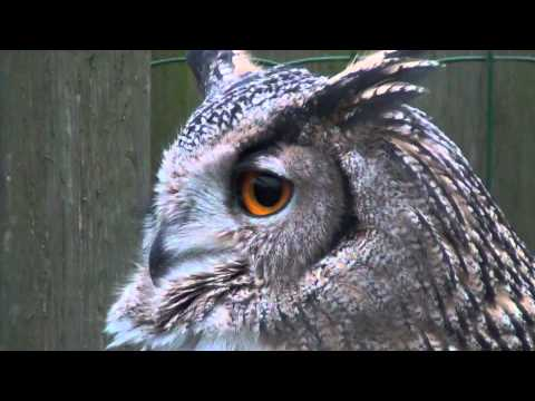 Eurasian Eagle Owl Hooting