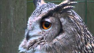Eurasian Eagle Owl Hooting