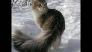 Кот норвежский лесной