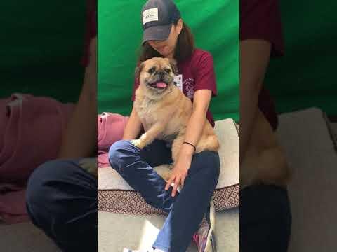 A4279598 Fuzzy | Shih Tzu/ Border terrier